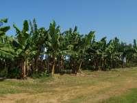 Oede Bananenplantage